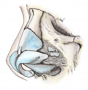 Esqueleto osteocartilaginoso nasal