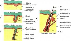 Embriologia capilar