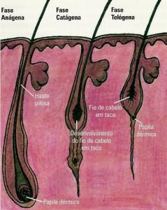 Ciclo biológico do cabelo